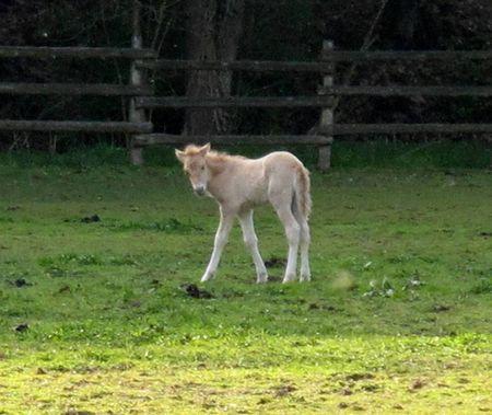 Tarpan Foal