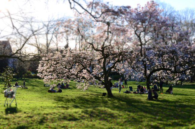Volksgarten Blooming Tulip Magnolia