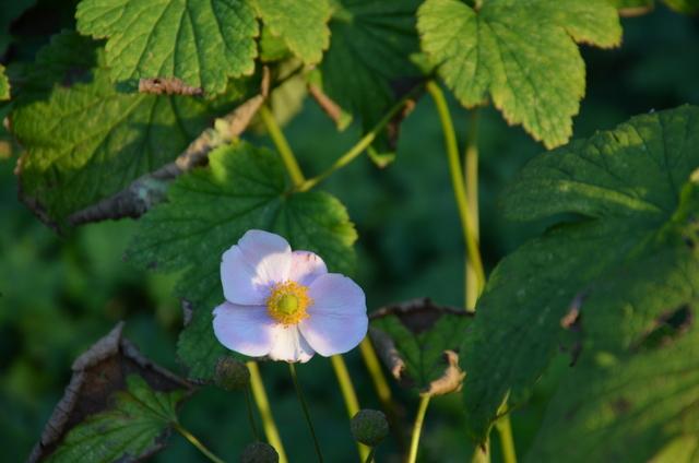 Volksgarten Single Pale Flower