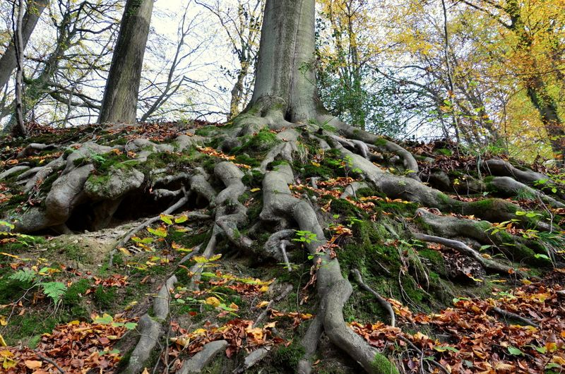 Beech roots Neander valley