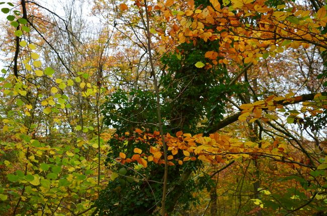 Ivy and beech leaves Neander valley