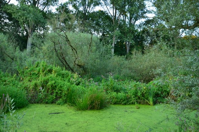 UK Algae-Covered Marsh Pond