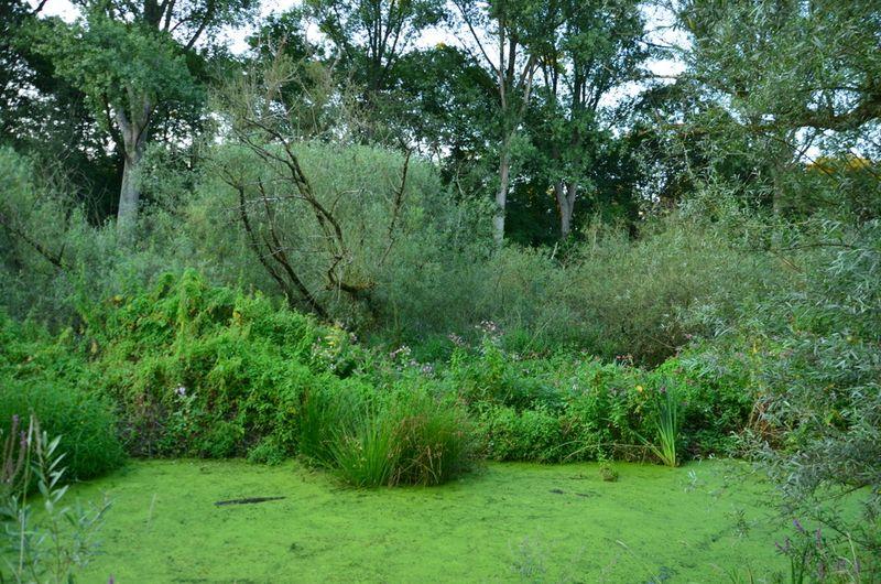 UK Algae-Covered Marsh Pond