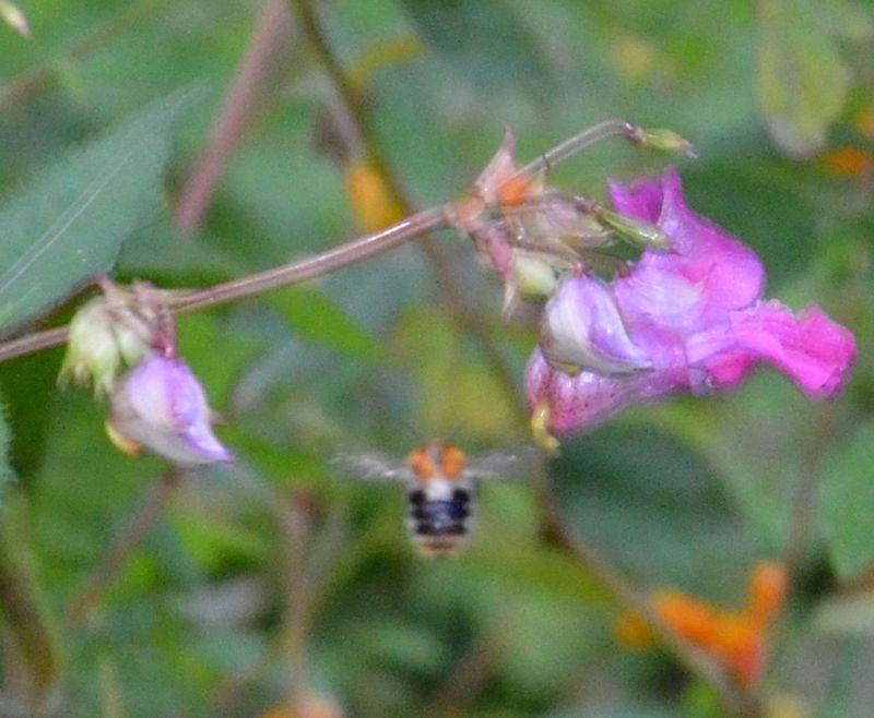 UK Blurry Bee