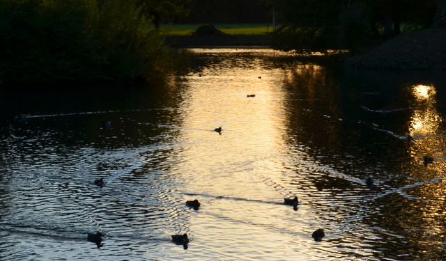 Volksgarten Duck Wakes in Sunset