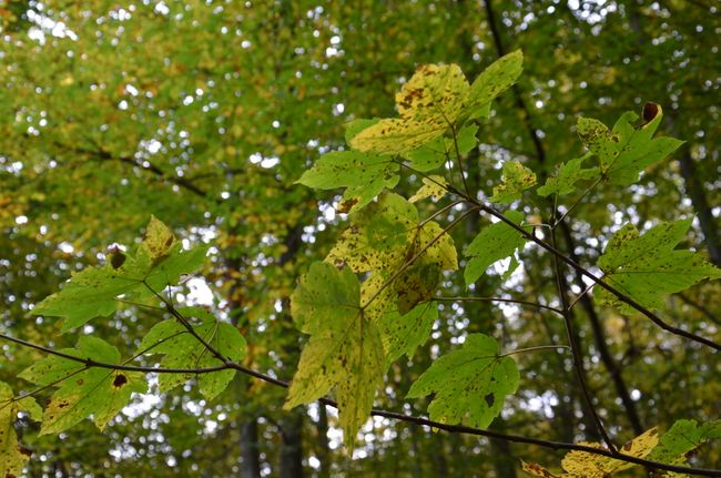 Maple Leaves Löwenburg