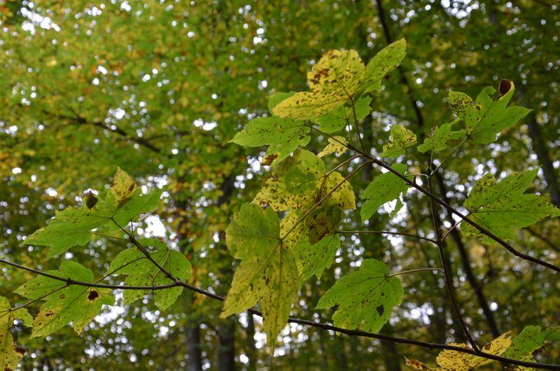 Maple Leaves Löwenburg