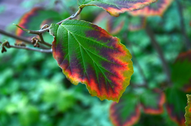 Volksgarten Leaf with Fiery Red Markings